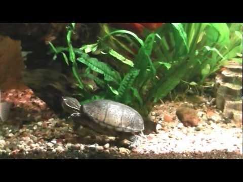 Musk Turtle Hunts Fish