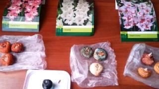 Гладиолусы, подготовка луковиц к посадке