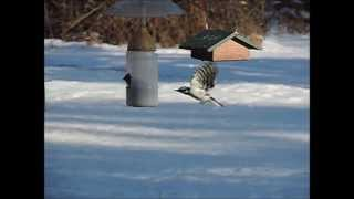 Hairy Woodpecker in flight
