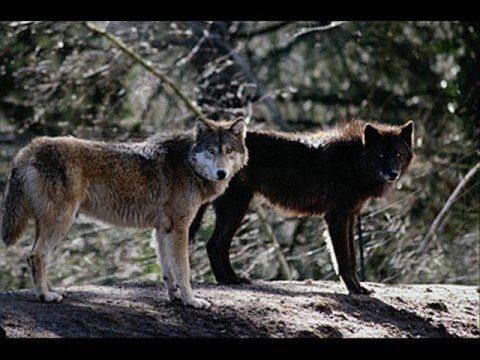 Timber Wolves Youtube