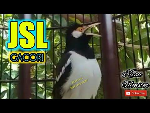 Jalak Suren Gacor Untuk Masteran dan pancingan burung bahan