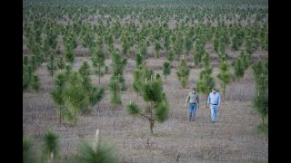 긴잎소나무, 대왕송(大王松.장엽송)의 특성