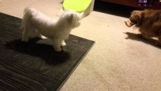 Maltese And Cavalier King Charles Spaniel Play 2