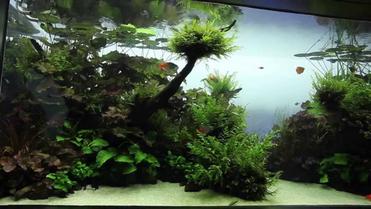 Visite live planted aquarium aquascape par aqua design amano youtube - Design aquasacpe ...