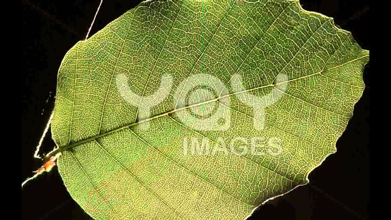 Beech Tree Leaves Images - YouTube