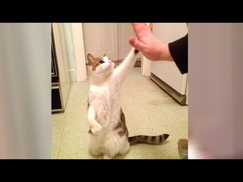 TOP FUNNY HIGHLIGHTS of CATS - Hilarious CAT compilation