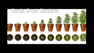 Ganja Grow Gardens | How to grow indoor marijuana | Increase yields | Topping cannabis Plants