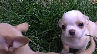 У Лены новый щенок Как мы купили щенка чихуахуа bought a puppy