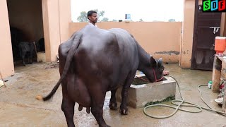 FOR SALE - 15 to 23 kg Milk Capacity Buffaloes at SDF