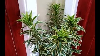 The Best Indoor Plants (Dracaena Reflexa Propagation and Plant Care)
