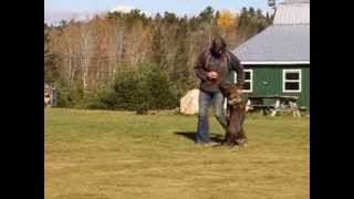 "Gucci Von Lohmanns Heide - ""gucci"" - Obedience Training - Beginning Of Week 3"