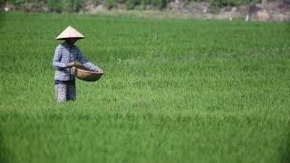 Vietnam Farmers Harvest Rice | Stock Footage