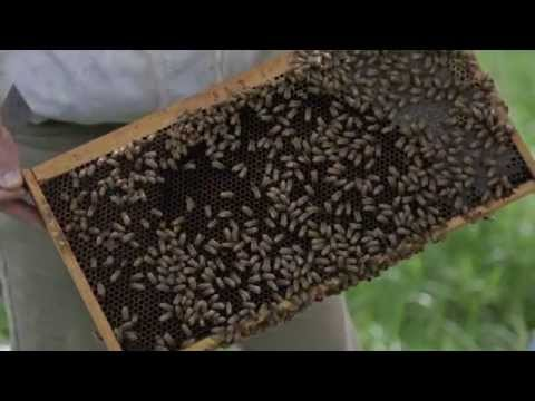 How the honey bee population affects you
