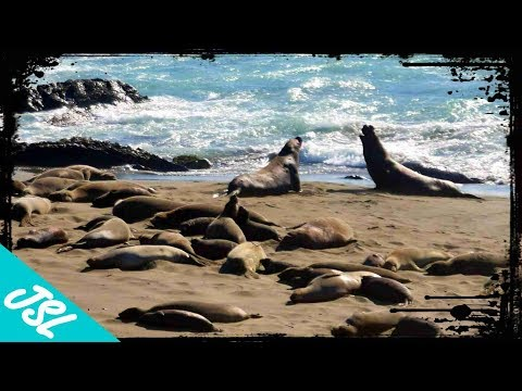 Elephant Seals of Big Sur