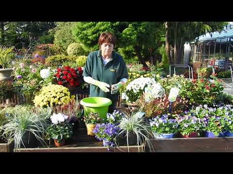 Gardening Tips - Ireland Autumn Potting Heathers and Daffodils