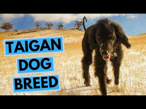 Taigan Dog Breed - Facts and Information