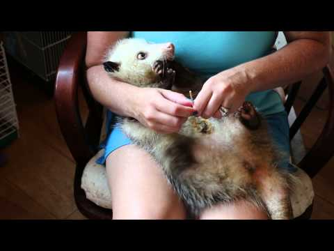 Cleaning an Opossum pouch