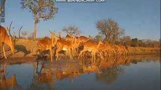 Antylopy przy wodopoju - świat zwierząt Afryki ,, Safari