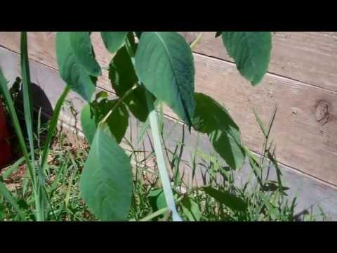 Identifying Plantain & Jewelweed