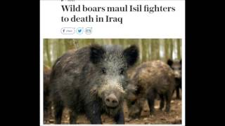 Pigs kill ISIS fighters