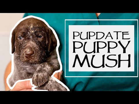 Caring For A New Litter - Weaning Puppies - How To Make Puppy Mush - Just Over 3 Weeks Old
