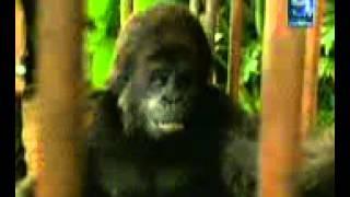 taljing gorilla in punjabi
