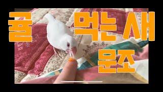 문조 귤 먹방 文鳥 java sparrow