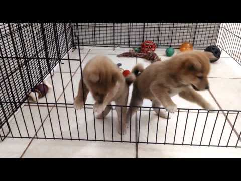 Eight Week Male Shiba Inu Puppies learning to escape!