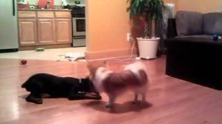 Doberman Pincher And Long Hair Chihuahua Play
