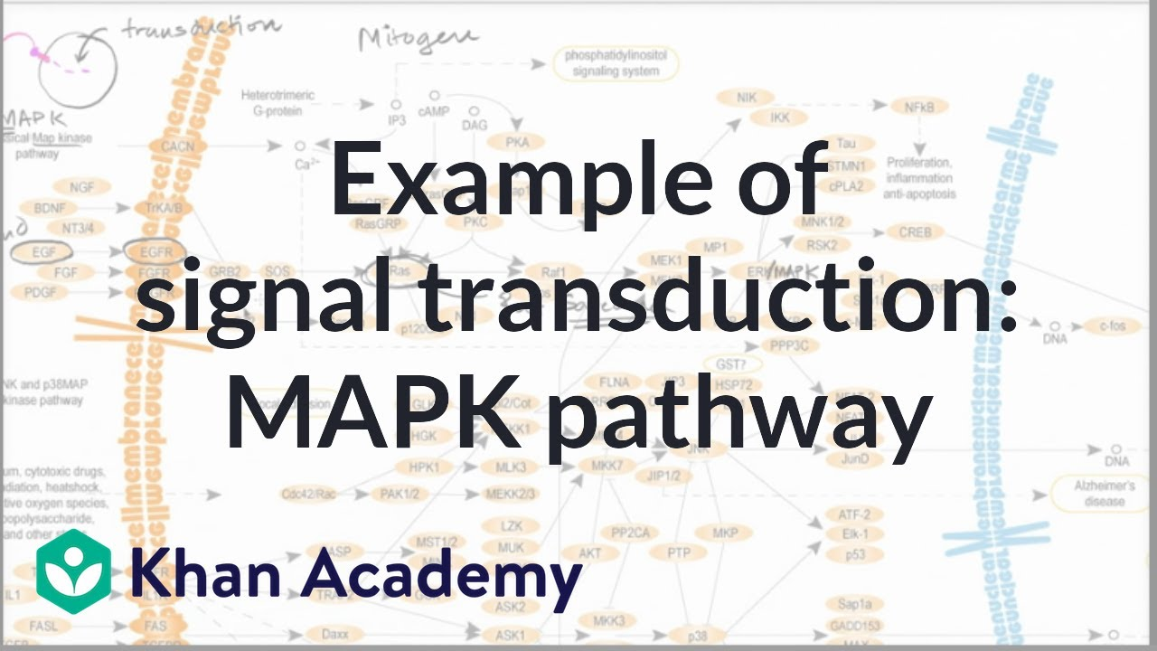 Example of a signal transduction pathway (video) | Khan Academy on cyclic adenosine monophosphate, mapk/erk pathway, apoptosis cascade, c-jun n-terminal kinases, jak-stat signaling pathway, protein kinase, adenylate cyclase, pi3k/akt/mtor pathway, protein kinase c, wnt signaling pathway, signal transduction, protein kinase cascade, tyrosine kinase, cyclin-dependent kinase, notch signaling pathway, amyloid cascade, signal transduction pathway cascade, receptor tyrosine kinase, tgf beta signaling pathway, caspase cascade,