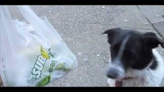 Vesta the NYC border collie at Subway carrying Dad's sandwich.