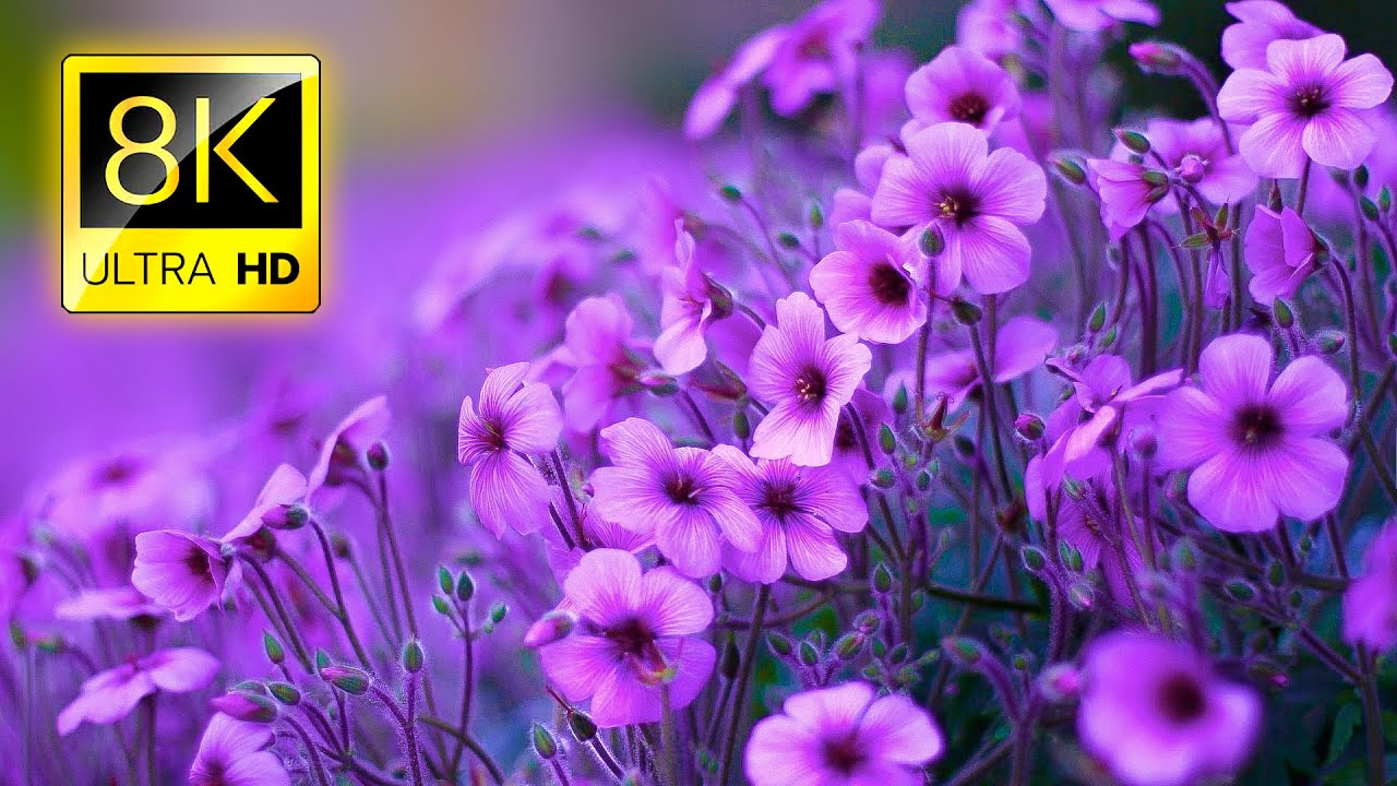 The Most Beautiful Flowers Collection 8K ULTRA HD / 8K TV