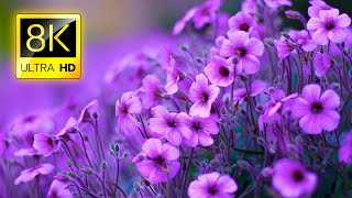 The Most Beautiful Flowers Collection 8K ULTRA HD / 8K TV screenshot 1