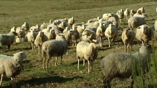 Situation de la filière ovine en Limousin