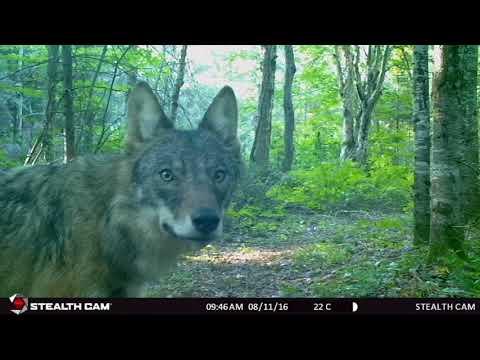 Algonquin Park Trail Cam Footage 2016/17