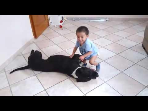 Perro pitbull le arranca la cabeza a un bebé