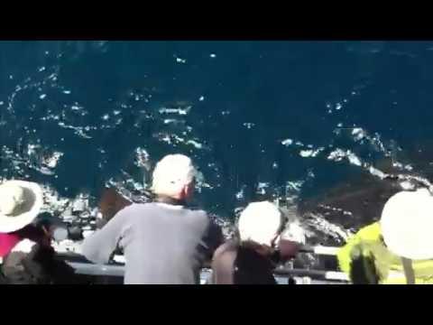 Massachusetts Whale Shark