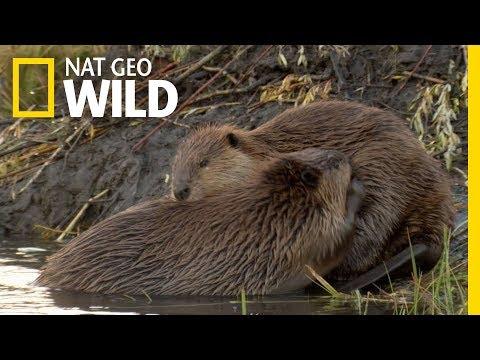 Animals That Mate For Life | Nat Geo Wild