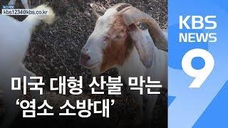 미국 대형 산불 막는 '염소 소방대'…염소펀드 모아 관리 / KBS뉴스(News)