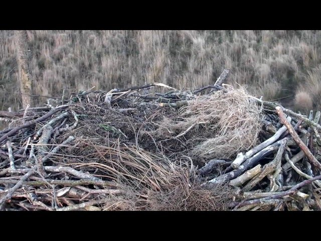 Someone pooped on the nest - Dyfi Osprey Project