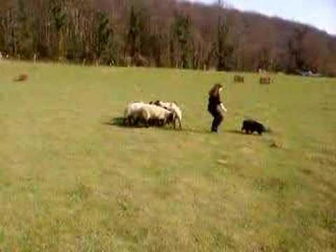 Nizinny (PON) aux moutons 2