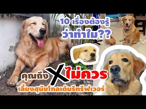 10 เรื่องไม่ควรเลี้ยงสุนัขโกลเด้นรีทรีฟเวอร์