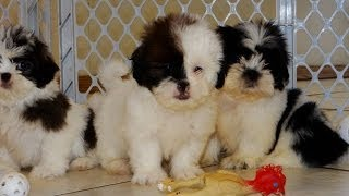 Malti Tzu, Puppies, For, Sale, In, Jackson, Mississippi, Ms, Clinton, Pearl, Horn Lake