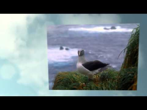 Macquarie Island Albatross Photos