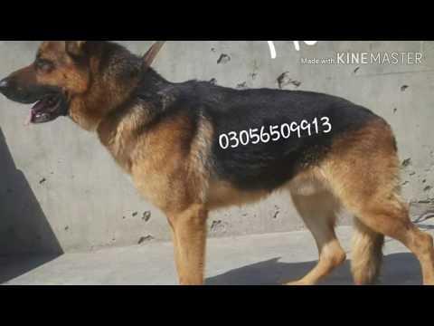 Pk German shepherd dog/Available For Booking German shepherd aggressive