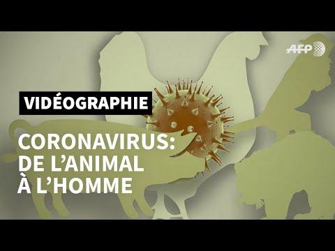De l'animal à l'homme: émergence d'un nouveau coronavirus  | AFP Animé