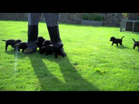 Labradoodle Puppies For Sale - Cornwall Devon South West