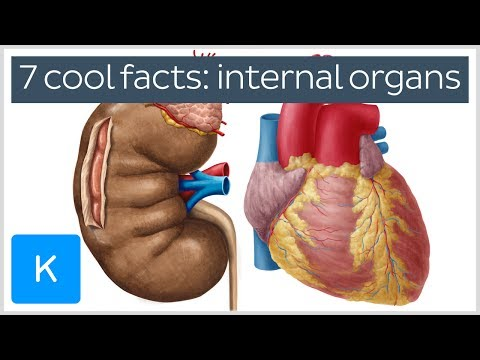 7 cool facts about the body's internal organs - Human Anatomy |Kenhub
