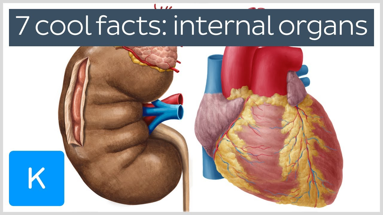 7 cool facts about the body\'s internal organs - Human Anatomy ...