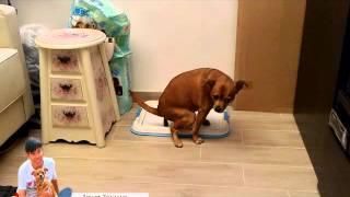 Dog's Behaviour Education - Toilet Training 犬隻行為教育-教導狗狗...